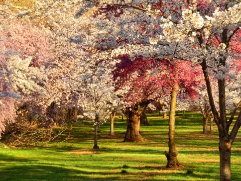 樱花节期间溪流公园樱花盛开